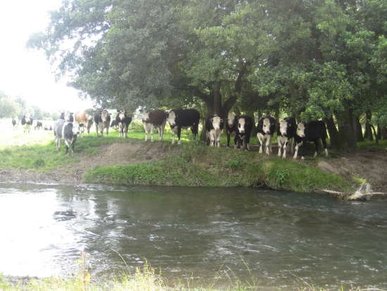 Cattle by the River Lugg in Kingsland Sheltering Under the Trees