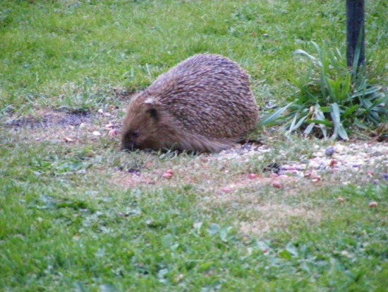 Hedgehog taking advantage of the bird table leftovers