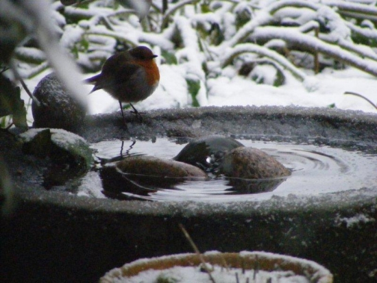 A very fat robin!