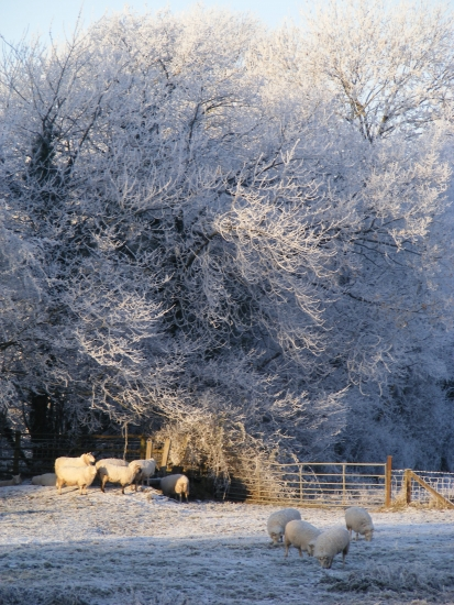 Not actually snow but sheep in the hoar frost 2010 : © Sally Deakin