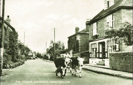11 Kingsland Stores (Edgefield) on right, Westmead on left and John Kaarlson with cows.