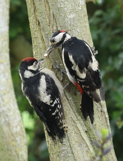 Adult and youngster Greater Spotted Woodpecker © Philip Batty