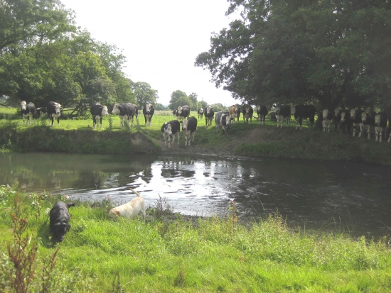 Cattle by the River Lugg in Kingsland