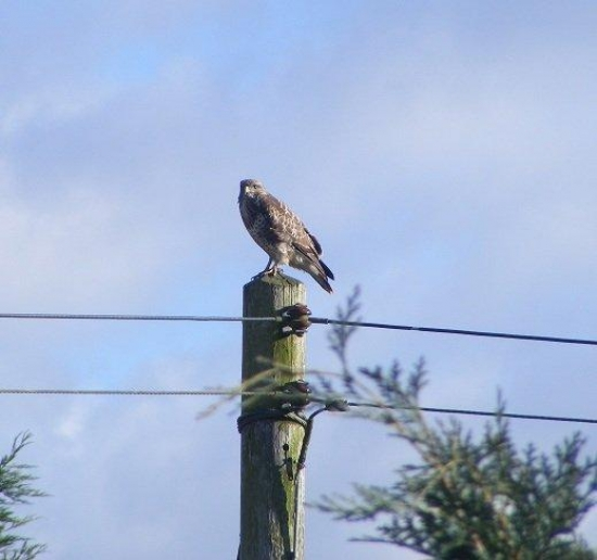 Buzzard on a telegraph pole by Lugg Green